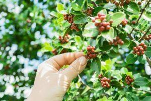 Выращивание робусты и арабики